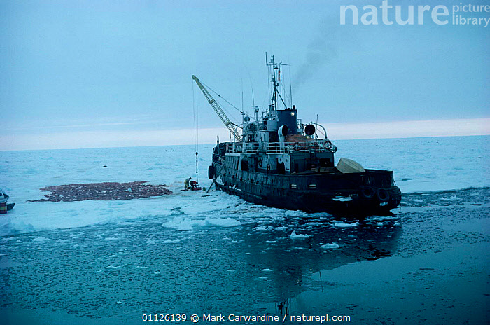 Harp seal skins laid out on ice beside sealing vessel, Gulf of St Lawrence, Canada  ,  SNOW,SEALERS,SEALS,ARCTIC,BOATS,HUNTING FOOD,HUNTING,MAMMALS,NORTH AMERICA,PINNIPEDS, CARNIVORES , CARNIVORES  ,  Mark Carwardine