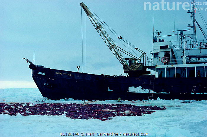 Harp seal skins laid out on ice beside sealing vessel, Gulf of St Lawrence, Canada  ,  PINNIPEDS,NORTH AMERICA,MAMMALS,HUNTING,BOATS,ARCTIC,SEALS,SEALERS,SNOW, CARNIVORES , CARNIVORES  ,  Mark Carwardine