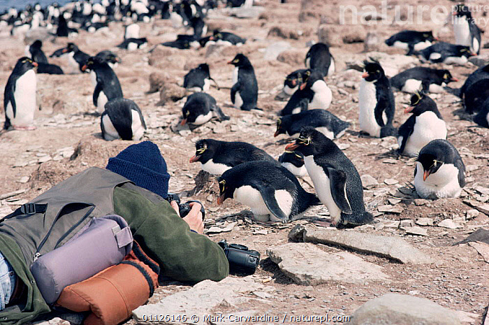 Photographer with Rockhopper penguins {Eudyptes chrysocome} Falkland Is  ,  BIRDS, FLIGHTLESS, FLOCKS, GROUPS, PENGUINS, PEOPLE, SEABIRDS, TOURISM, VERTEBRATES  ,  Mark Carwardine
