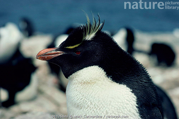 Rockhopper penguin {Eudyptes chrysocome} Falkland Is  ,  BIRDS, FLIGHTLESS, FRIENDSHIP, PENGUINS, PORTRAITS, SEABIRDS, VERTEBRATES,Concepts  ,  Mark Carwardine
