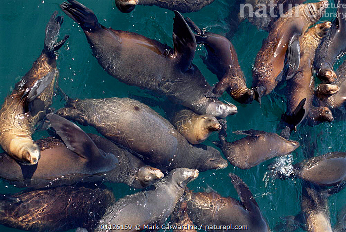 Californian sealions in water {Zalophus californianus} Baja California, Mexico  ,  MARINE,PACIFIC,PINNIPEDS,GROUPS,MAMMALS,CENTRAL AMERICA,COASTS,SURFACE,SWIMMING,VERTICAL,CARNIVORES  ,  Mark Carwardine