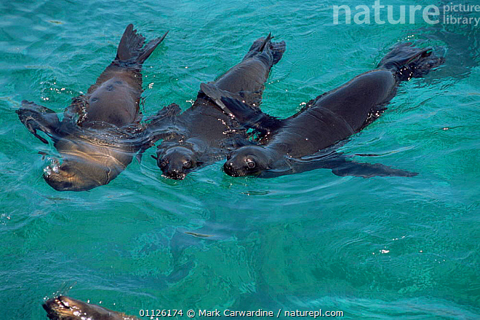 South African / Cape fur seals swimming {Arctocephalus p pusillus} W Cape, South Africa  ,  SOUTHERN AFRICA,GROUPS,MAMMALS,PINNIPEDS,MARINE,CARNIVORES  ,  Mark Carwardine