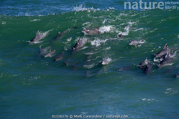 Bottlenose dolphins surfing {Tursiops truncatus} Western Cape, South Africa  ,  SOUTHERN AFRICA,WAVES,GROUPS,MAMMALS,MARINE,COASTS,CETACEANS,BEHAVIOUR,Dolphins, Mammals  ,  Mark Carwardine