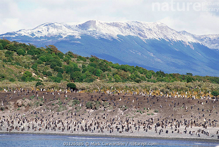 Magellanic / Jackass penguin colony {Spheniscus magellani} Tierra del Fuego,  ,  SOUTHERN AMERICA,GROUPS,HABITAT,LANDSCAPES,PENGUINS,PATAGONIA,COASTS,CHANNEL,FLIGHTLESS,FLOCKS,BEAGLE,ARGENTINA,BIRDS,Seabirds, Seabirds  ,  Mark Carwardine