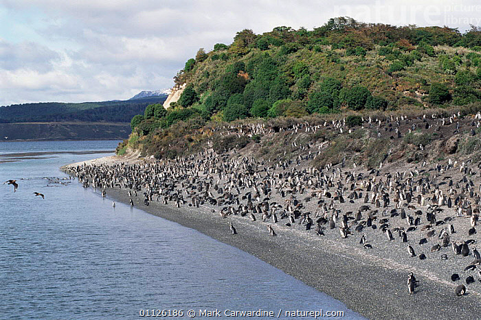 Magellanic / Jackass penguin colony {Spheniscus magellani} Tierra del Fuego,  ,  BIRDS,ARGENTINA,BEAGLE,FLOCKS,FLIGHTLESS,CHANNEL,COASTS,PATAGONIA,PENGUINS,LANDSCAPES,GROUPS,SOUTHERN AMERICA,Seabirds, Seabirds  ,  Mark Carwardine