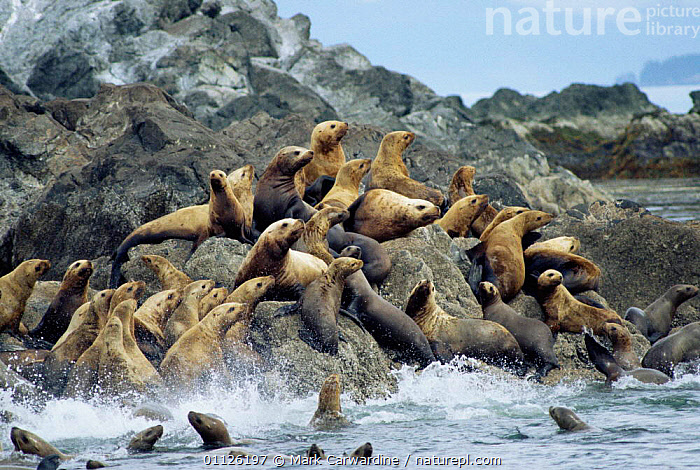 Steller sealions in sea and on rock {Eumetopias jubata} Alaska, USA  ,  USA,COASTS,PINNIPEDS,MARINE,PACIFIC,NORTH AMERICA,GROUPS,MAMMALS, CARNIVORES  ,  Mark Carwardine