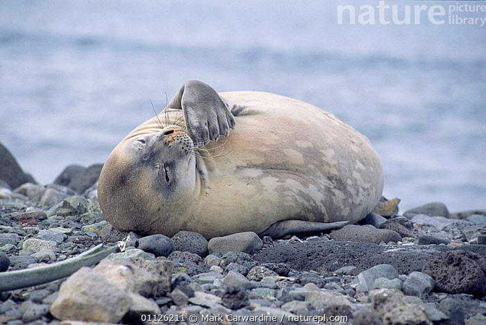Weddell seal sleeping {Leptonychotes weddelli} Deception Is, Antarctica.  ,  ANTARCTICA,COASTS,PORTRAITS,PINNIPEDS,MARINE,MAMMALS,SEALS, CARNIVORES , CARNIVORES  ,  Mark Carwardine