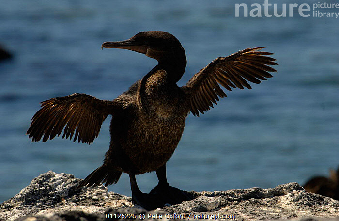 Flightless cormorant drying wings {Nannopterum harrisi} Galapagos.  ,  BEHAVIOUR,BIRDS,CORMORANTS,GALAPAGOS,SEABIRDS,THERMOREGULATIONS  ,  Pete Oxford