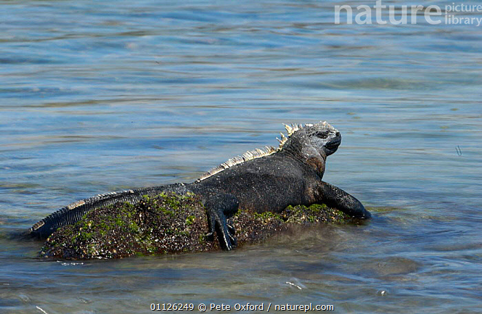 Marine iguana sunning on rock in sea {Amblyrhynchus cristatus} Galapagos.  ,  GALAPAGOS,IGUANAS,REPTILES,THERMOREGULATION,Lizards, Iguanas  ,  Pete Oxford