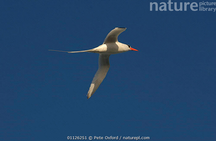Red billed tropicbird in flight {Phaethon aethereus} Galapagos.  ,  BIRD,BIRDS,FLYING,GALAPAGOS,SEABIRDS,TROPIC,TROPICBIRDS  ,  Pete Oxford