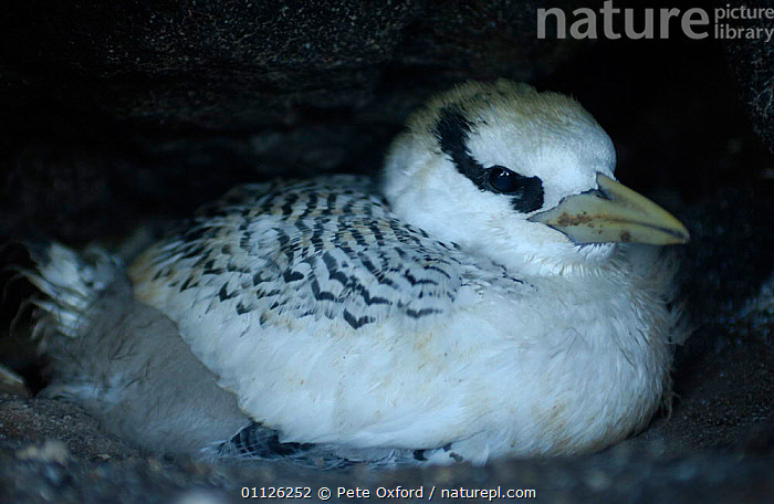 Red billed tropicbird chick {Phaethon aethereus} Galapagos.  ,  BABIES,BIRD,BIRDS,CHICKS,GALAPAGOS,SEABIRDS,TROPIC,TROPICBIRDS  ,  Pete Oxford