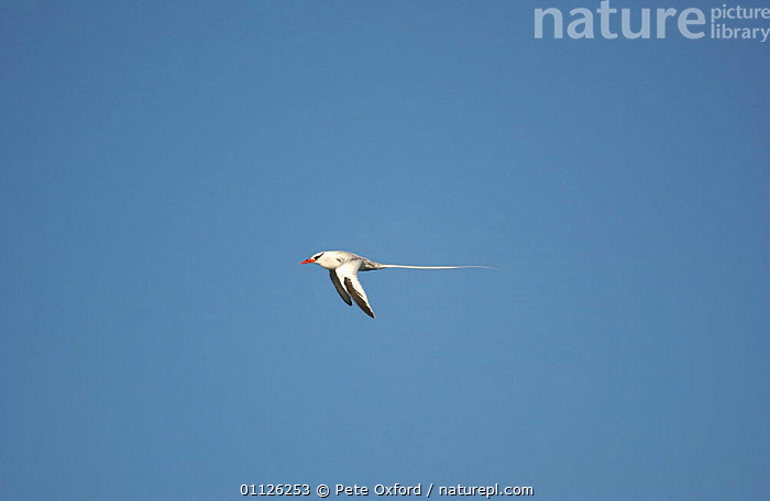 Red billed tropicbird flying {Phaethon aethereus} Galapagos.  ,  BIRD,BIRDS,GALAPAGOS,SEABIRDS,TROPIC,TROPICBIRDS  ,  Pete Oxford