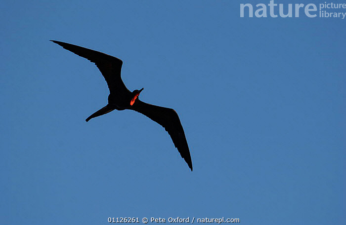 Great frigate bird flying {Fregata minor} Galapagos.  ,  BIRDS,GALAPAGOS,SEABIRDS  ,  Pete Oxford