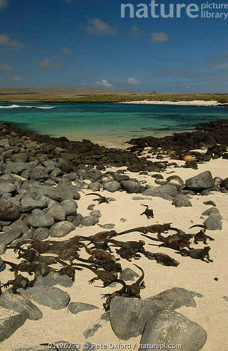 Marine iguanas on beach {Amblyrhynchus cristatus} Hood Is, Galapagos.  ,  BEACHES,GALAPAGOS,GROUPS,LANDSCAPES,REPTILES,THERMOREGULATION,VERTICAL,Lizards, Iguanas  ,  Pete Oxford