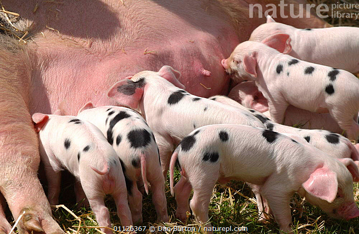 Tamworth piglets suckling {Sus scrofa domestica}  ,  BABIES,BEHAVIOUR,CUTE,EUROPE,FAMILIES,FARMYARD,FEEDING,GROUPS,LIVESTOCK,PIGS,SPOTS,SPOTTED,UK,United Kingdom,British  ,  Dan Burton