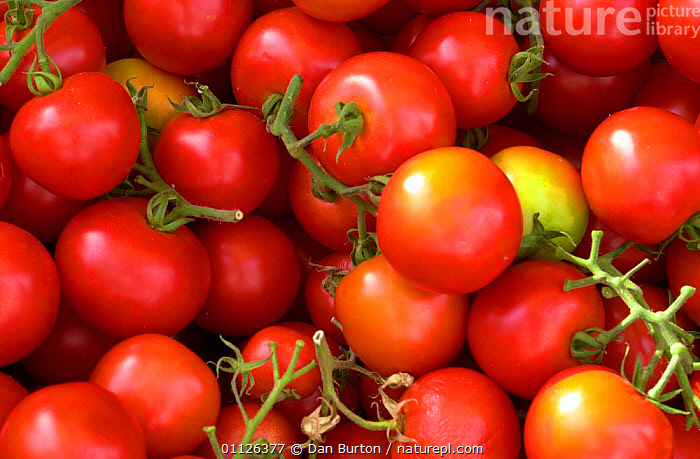 Tomatoes {Lycopersicon esculentum} France.  ,  EDIBLE,EUROPE,FRANCE,FRUIT,GROUPS,PLANTS,RED,TRADE,VEGETABLES  ,  Dan Burton