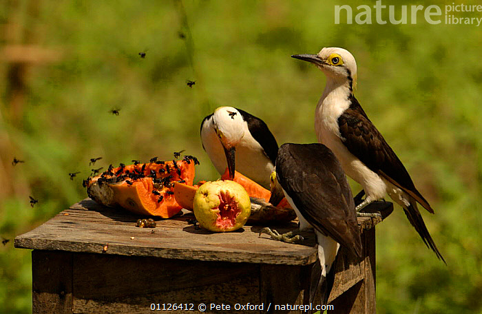 White woodpeckers feed at bird table {Melanerpes candidus} Cerrado, Piaui, Brazil  ,  BIRDS,FEEDERS,FEEDING,FRUIT,GARDENS,GROUPS,SOUTH AMERICA,STATE,THREE,Plants  ,  Pete Oxford