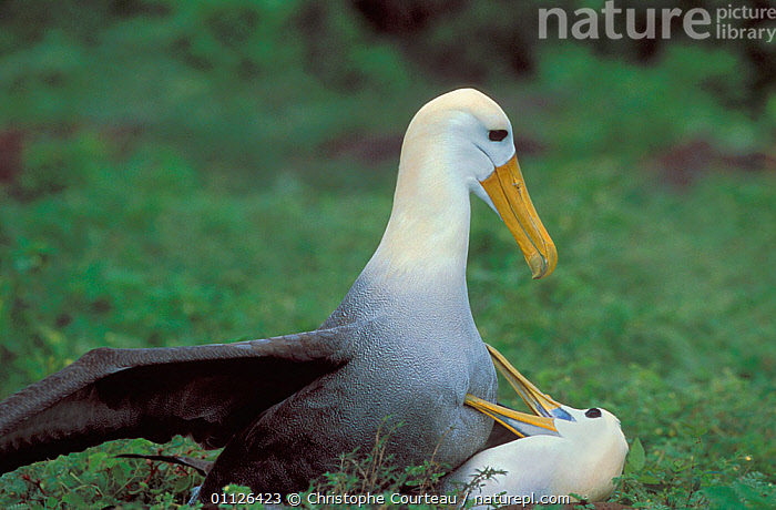 Waved albatross mating {Diomedea / Phoebastria irrorata} Hood Is, Galapagos.  ,  ALBATROSSES,BIRDS,DIOMEDEA IRRORATA,GALAPAGOS,REPRODUCTION,SEABIRDS,VERTEBRATES  ,  Christophe Courteau