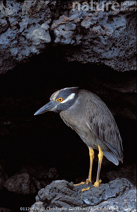Yellow crowned night heron in cave {Nyctanassa violacea} Santiago Is, Galapagos.  ,  BIRDS, CAVES, GALAPAGOS, HERONS, VERTEBRATES, VERTICAL  ,  Christophe Courteau