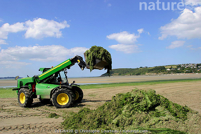 Harvesting Green lettuce algae from beach to use as agricultural fertiliser, France  ,  BEACHES,BRITTANY,COASTS,EUROPE,MACHINERY,MINERALS,NITRATE,PLANTS,SEAWEED,TRACTOR,USED  ,  Christophe Courteau