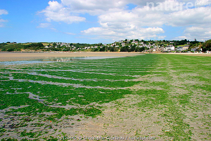 Green lettuce algae on beach caused by nitrate pollution of rivers, France  ,  AGRICULTURAL,BEACHES,BRITTANY,COASTS,EUROPE,FERTILISER,LANDSCAPES,MINERALS,PLANTS,SEAWEED,USED  ,  Christophe Courteau
