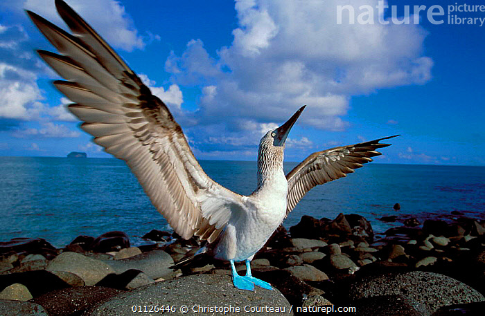 Blue footed booby displaying {Sula nebouxii} Galapagos.  ,  BIRDS,BOOBIES,COASTS,DISPLAY,GALAPAGOS,MATING BEHAVIOUR,SEABIRDS,WINGS,Reproduction,Communication,SOUTH-AMERICA,Catalogue1  ,  Christophe Courteau