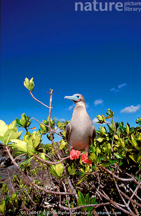Red footed booby in mangrove {Sula sula} Genovesa Is, Galapagos.  ,  BIRDS,BOOBIES,FLOWERS,GALAPAGOS,MANGROVES,PLANTS,SEABIRDS  ,  Christophe Courteau
