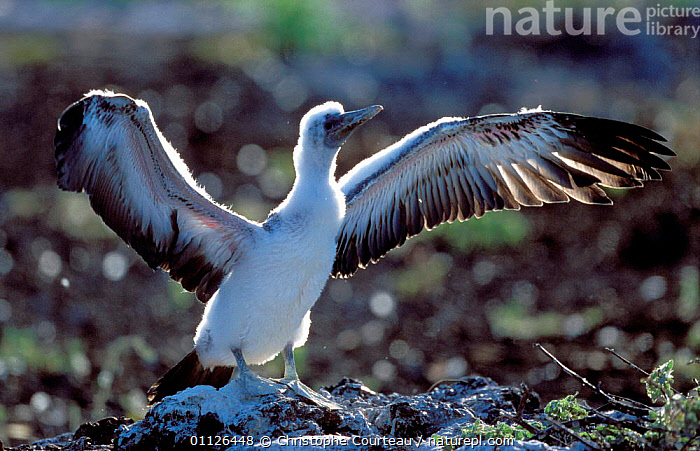 Masked booby chick stretching wings {Sula dactylatra melanops} Galapapos.  ,  BABIES,BEHAVIOUR,BIRDS,BOOBIES,CHICKS,FLUFFY,GALAPAPOS,JUVENILE,SEABIRDS  ,  Christophe Courteau