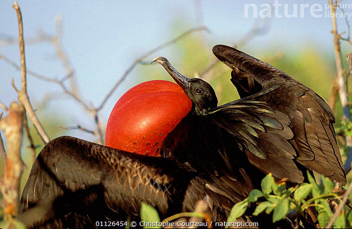 Male Great frigate bird displaying {Fregata minor} Galapagos  ,  BIRDS,DISPLAY,MALES,MATING BEHAVIOUR,RED,SEABIRDS,VOCALISATION,VOCAL SAC,Reproduction,Communication  ,  Christophe Courteau