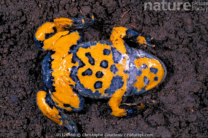 Yellow bellied toad defensive behaviour {Bombina variegata} France sequence 7/7  ,  AMPHIBIANS,COLOURFUL,DANGER,EUROPE,INTERESTING,TOADS,Anura  ,  Christophe Courteau