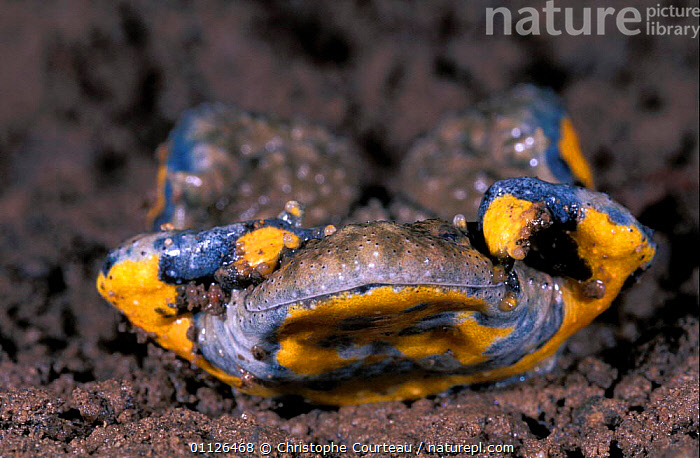 Yellow bellied toad defensive behaviour {Bombina variegata} France sequence 5/7  ,  AMPHIBIANS,COLOURFUL,DANGER,EUROPE,INTERESTING,TOADS,Anura,Catalogue1  ,  Christophe Courteau