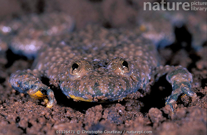 Yellow bellied toad defensive behaviour {Bombina variegata} France sequence 2/7  ,  AMPHIBIANS,COLOURFUL,DANGER,EUROPE,INTERESTING,TOADS,Anura  ,  Christophe Courteau