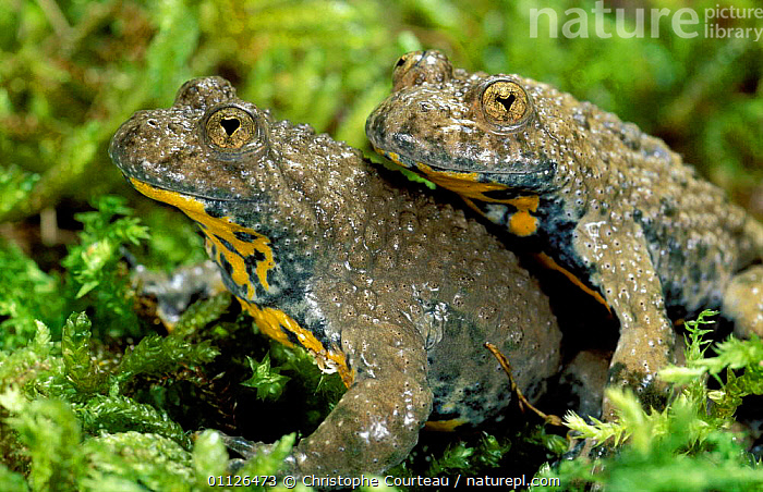 Pair of Yellow bellied toads {Bombina variegata} France  ,  AMPHIBIANS,COUPLE,EUROPE,MALE FEMALE PAIR,TWO,Anura,Toads  ,  Christophe Courteau