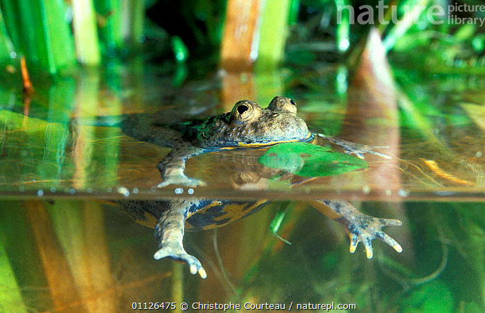 Yellow bellied toad swimming {Bombina variegata} France  ,  AMPHIBIANS,EUROPE,FRESHWATER,MOVEMENT,SURFACE,TOADS,Anura  ,  Christophe Courteau