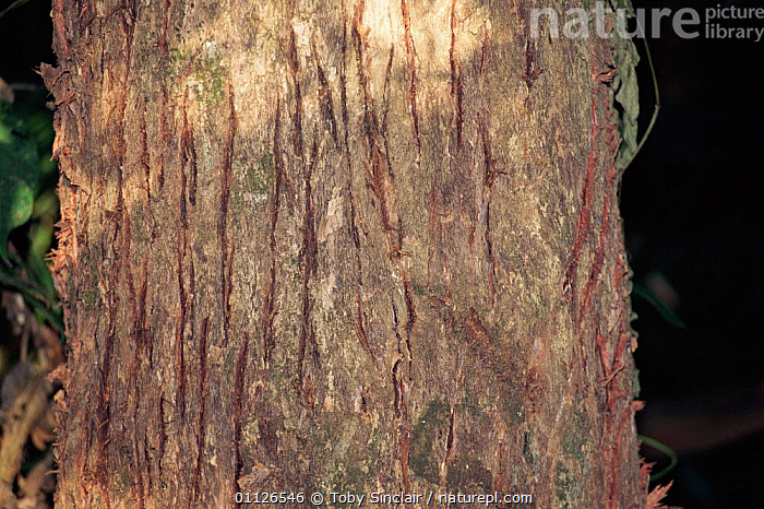Claw scratch marks on tree trunk from Tiger {Panthera tigris} Kaziranga NP, India  ,  CLAWS,BEHAVIOUR,BARK,ASSAM,ASIA,CARNIVORES,MAMMALS,KASIRANGA,TREES,TRACKS,TRACES,SHARPENING,SCRATCHING,RESERVE,Plants,Tigers,Big Cats  ,  Toby Sinclair