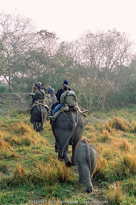 Tourists on Elephant safari with baby elephant following, Kaziranga National Park, India  ,  RESERVE,RIDING,TOURISM,VERTICAL,INDIAN,LANDSCAPES,PEOPLE,NP,ASIA,BABIES,CUTE,National Park,INDIA,INDIAN-SUBCONTINENT  ,  Toby Sinclair