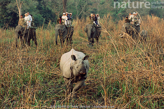 Tourists on Elephant safari watch Indian rhinoceros, Kaziranga NP, Assam, India  ,  ASIA,PEOPLE,PERISSODACTYLA,LANDSCAPES,MAMMALS,UNICORNIS,TOURISM,RIDING,RHINO,RESERVE,INDIA,INDIAN-SUBCONTINENT rhino, rhinoceros, rhinos,  ,  Toby Sinclair