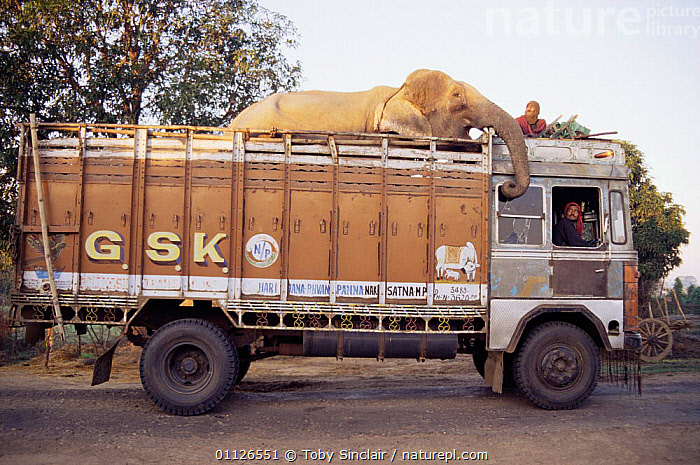 Indian elephant {Elephas maxiumus} being transported by lorry, India  ,  TRANSPORT,SIZE,ROADS,VEHICLES,HEAVY,MAMMALS,LARGE,PEOPLE,PROBOSCIDS,MAXIUMUS,BIG,ASIA,ELEPHANTS  ,  Toby Sinclair