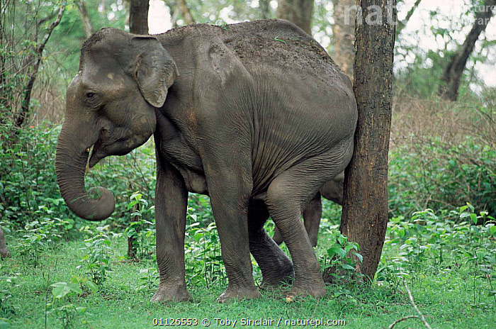 Indian elephant female rubbing against tree {Elephas maximus} Karnataka, India Nagarahole NP  ,  SCRATCHING,RESERVE,ITCHING,HUMOROUS,MAMMALS,PROBOSCIDS,ASIA,BEHAVIOUR,ELEPHANTS,FEMALES,GROOMING,FUNNY,Concepts  ,  Toby Sinclair