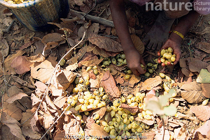 Mahua {Madhuca latifolia} flowers, used as source of vegetable oil, Madhya Pradesh, India  ,  LANDSCAPES,LATIFOLIA,MADHUCA,CROPS,BASKETS,ASIA,SEEDS,TRADITIONAL,INDIAN-SUBCONTINENT  ,  Toby Sinclair