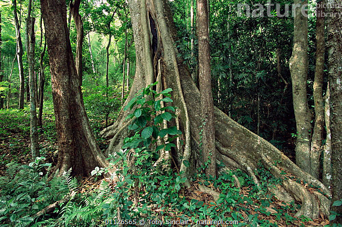 Dandeli sanctuary, Western Ghats forest, Karnataka, India  ,  LANDSCAPES,BUTTRESS,ASIA,TREES,ROOTS,RESERVE,WOODLANDS,Plants,INDIAN-SUBCONTINENT,INDIA  ,  Toby Sinclair