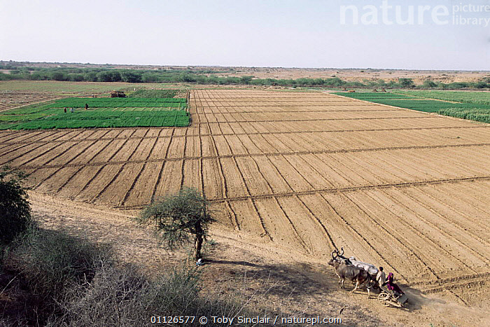 Ploughed field and ox drawn cart, Kutch, Gujarat, India  ,  WORKING,TRADITIONAL,ASIA,AGRICULTURE,FIELDS,CATTLE,LANDSCAPES,OXEN,INDIA,INDIAN-SUBCONTINENT  ,  Toby Sinclair