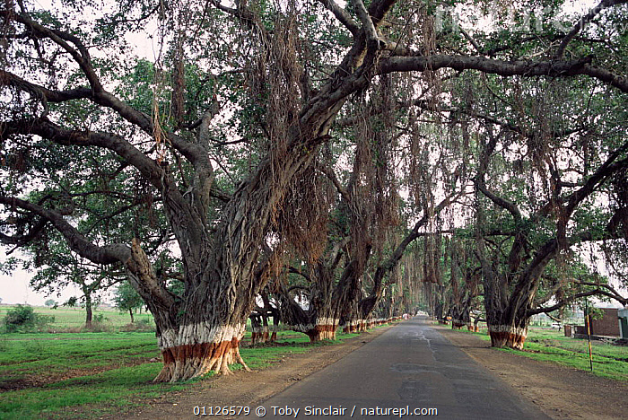 Banyan trees {Ficus religiousa} shading road, Aurangabad, Maharashtra, India  ,  RELIGIOUS,ROADS,SHADE,ASIA,FICUS,LANDSCAPES,INDIAN-SUBCONTINENT,INDIA  ,  Toby Sinclair