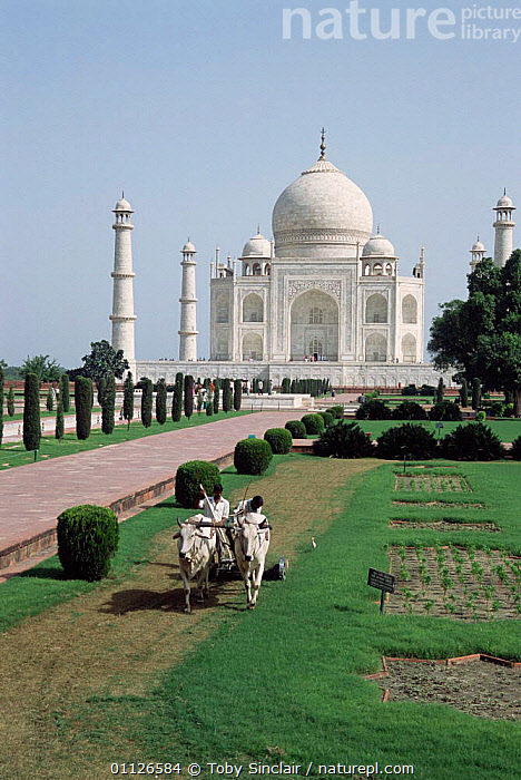 Taj Mahal with ox drawn lawn mowing machine, Agra, Uttar Pradesh, India  ,  LANDSCAPES,LANDMARK,PEOPLE,OXEN,MEN,ASIA,BUILDINGS,CART,CATTLE,VERTICAL,WORKING,TRADITIONAL,INDIAN-SUBCONTINENT  ,  Toby Sinclair