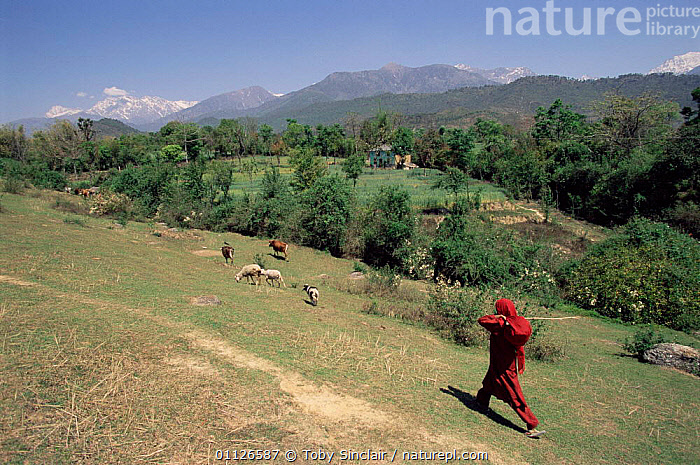 Shepherd in Kangra valley, foothills of the Himalayas, Himachal Pradesh, India  ,  SHEEP,GOATS,ASIA,MOUNTAINS,PEOPLE,LANDSCAPES,LIVESTOCK,INDIAN-SUBCONTINENT  ,  Toby Sinclair