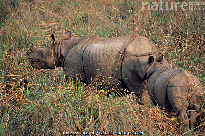Indian rhinoceros with calf {Rhinoceros unicornis} Royal Chitwan NP, Nepal  ,  MAMMALS,PERISSODACTYLA,MOTHER,ASIA,BABIES,BABY,FAMILIES,RESERVE,RHINO,RHINOCEROSES rhino, rhinoceros, rhinos,  ,  Toby Sinclair