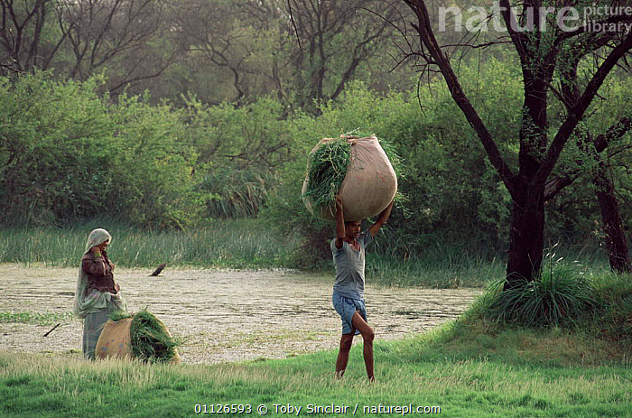 Illegal grass cutting, Keoladeo Ghana National Park, Bharatpur, Rajasthan, India  ,  TRADITIONAL,WORKING,CARRYING,LANDSCAPES,NP,PEOPLE,National Park,INDIAN-SUBCONTINENT,INDIA,,UNESCO World Heritage Site,  ,  Toby Sinclair