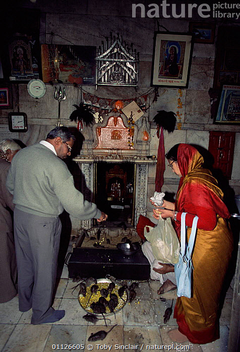 Worhippers with temple rats, Karni Mata temple, Deshnoke, Bikaner, Rajasthan, India  ,  RODENTS,RAT,RELIGION,VERTICAL,ASIA,BUILDINGS,MAMMALS,LANDSCAPES,HINDUISM,HINDU,PEOPLE,INDIAN-SUBCONTINENT,INDIA  ,  Toby Sinclair