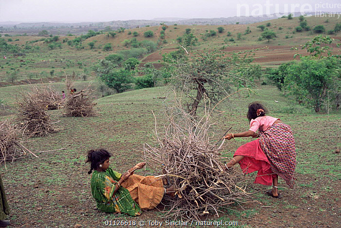 Women collecting firewood, Maharashtra, India  ,  WOOD,TRADITIONAL,ASIA,GIRLS,FUEL,FIRE,PEOPLE,LANDSCAPES,INDIAN-SUBCONTINENT,INDIA  ,  Toby Sinclair