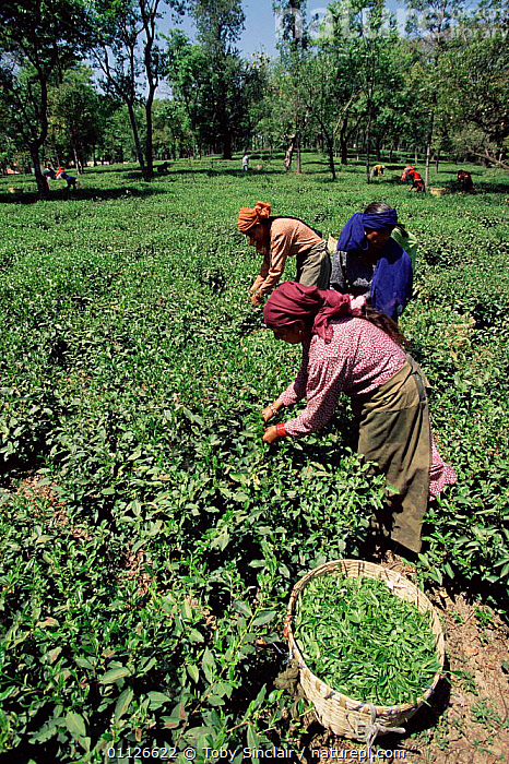 Women harvesting / picking tea, Kangra valley, Himachal Pradesh, India  ,  VERTICAL,WORKING,TRADITIONAL,ASIA,AGRICULTURE,CROPS,PEOPLE,PLANTS,PLANTATION,LANDSCAPES,INDIAN-SUBCONTINENT  ,  Toby Sinclair